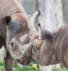 "Potter Park Zoo's Black Rhino ""Doppsee"" is Thought to Be Pregnant"